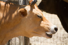 Cow in Summer. A cow closes its eyes Stock Photo