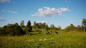 Cow summer landscape stock footage