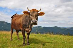 Cow on a summer mountain pasture Stock Images