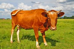 Cow on a summer pasture Royalty Free Stock Photos