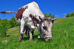 Cow on a summer pasture Stock Photography