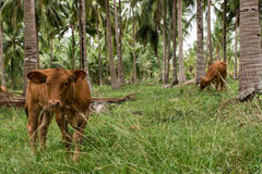 Cow. On a summer pasture stock images