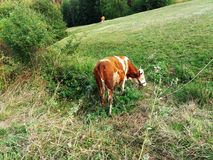 Cow on a summer pasture Royalty Free Stock Photo