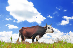 Cow on a summer pasture Royalty Free Stock Photography