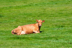 Cow on a summer pasture. A brown cow on a green pasture standing and eating Stock Photo