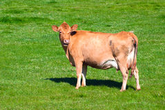 Cow on a summer pasture. A brown cow on a green pasture standing and eating Stock Image