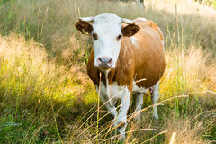 Cow on a summer pasture Stock Photos