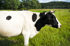 Cow on a summer pasture. Stock Photography
