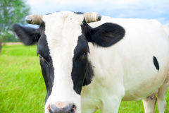 Cow on a summer pasture. Royalty Free Stock Photo