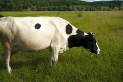 Cow on a summer pasture. Royalty Free Stock Image