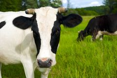 Cow on a summer pasture. Stock Image