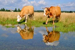 Cow on a summer pasture after a rain Stock Image