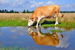 Cow on a summer pasture after a rain Royalty Free Stock Photography
