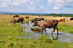 Cow on a summer pasture after a rain Royalty Free Stock Photo