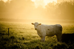 Cow in sun. Herd of cows in Sunrise/Sunset Royalty Free Stock Photography