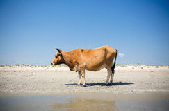 Cow sunbathing Stock Photo
