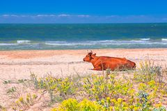 Cow on the sunny beach. Cow sunbathing on a sunny beach Royalty Free Stock Image