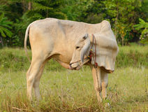 Cow on a sunny day. In Lampang ,Thailand Royalty Free Stock Photos