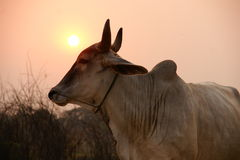 Cow sunset Stock Photo