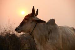 Cow sunset Stock Photo