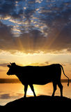 Cow on sunset Stock Photos