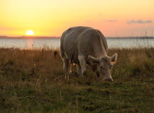 Cow in sunset Stock Photo