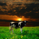 Cow sunset Royalty Free Stock Image
