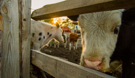 The cow at sunset looks through the fence. Russia Royalty Free Stock Images