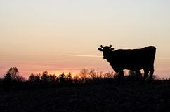 Cow in a sunset. Royalty Free Stock Photos