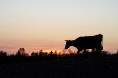 Cow in a sunset. Stock Photos
