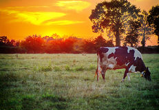 Cow at suset. A cow grazing in field around sunset Royalty Free Stock Images