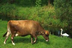 A cow and a swan. A cow grazes while a swan swims gracefully in the ditch. een koe graast terwijl een zwaan sierlijk door de sloot zwemt stock images