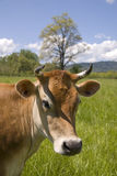 Cow of sweet disposition. A pretty cow in lush California pasture Stock Photography