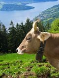 Cow in Swiss Alps. Cow grazing on an alpine pasture (Switzerland Stock Photography