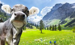 Cow in Swiss alps royalty free stock photos