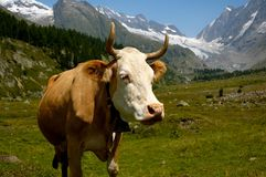 Cow in the Swiss Alps stock image