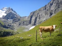Daily cow in the Swiss Alps, Jungfrau region Royalty Free Stock Photos