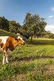 Cow in Swiss meadows Stock Images