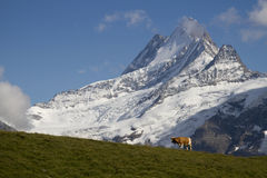 A cow in Switserland. A typical Swiss view: a cow, green grass and snowy mountaintops Stock Images