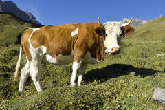 Cow Switserland. On a fresh green grass field Royalty Free Stock Photo