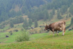 Cow in Switzerland Stock Image