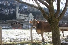 Cow in Switzerland winter day Stock Image