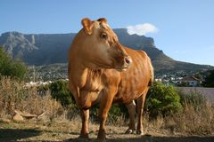 Cow with table mountain in background. A brown cow in Cape Town with table mountain in background Stock Photography