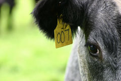 Cow tagged with 007 Royalty Free Stock Images