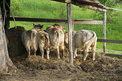 Cow tails Stock Photography