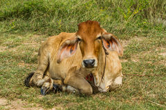 Cow take a rest Royalty Free Stock Image