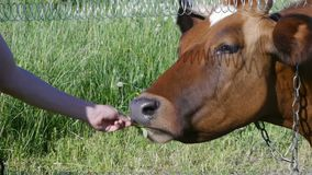 Cow takes and eats from hands of clover flowers stock footage