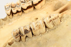 Cow teeth. Royalty Free Stock Image