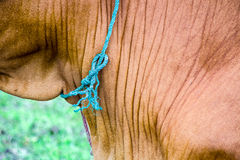 Cow tether Royalty Free Stock Photos