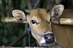 Cow tethered through nose. A cow tethered to a bamboo pole using rope through its nostrils. Bali, Indonesia Royalty Free Stock Image